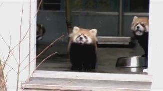 goseegoat red panda golden panda funny cute scared