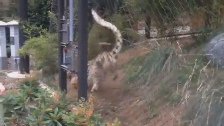 goseegoat.com funny cute big cat leopard gepard cheetah tiger video (27)