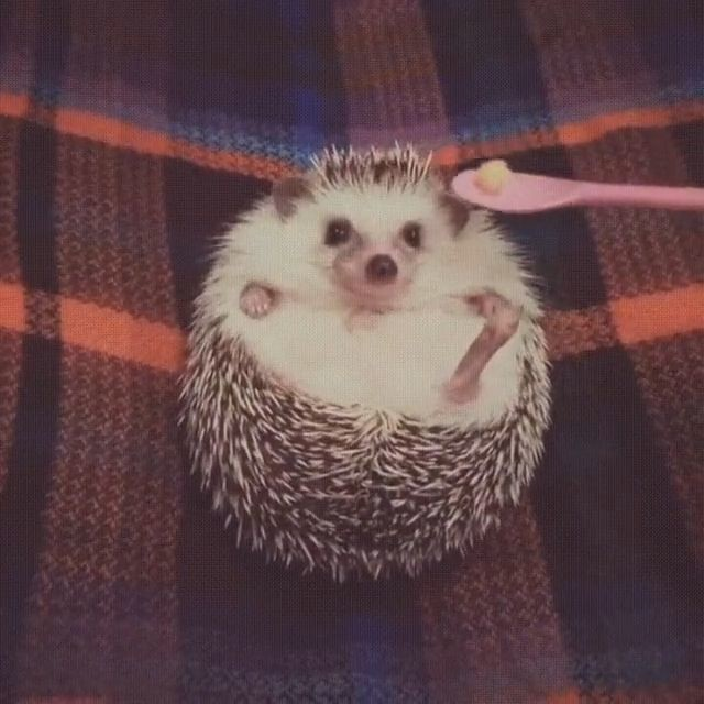 goseegoat.com funny cute hedgehog video (3)