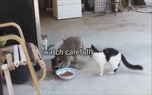 goseegoat.com funny cute raccoon video (8)