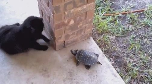 goseegoat.com funny cute turtle video (1)
