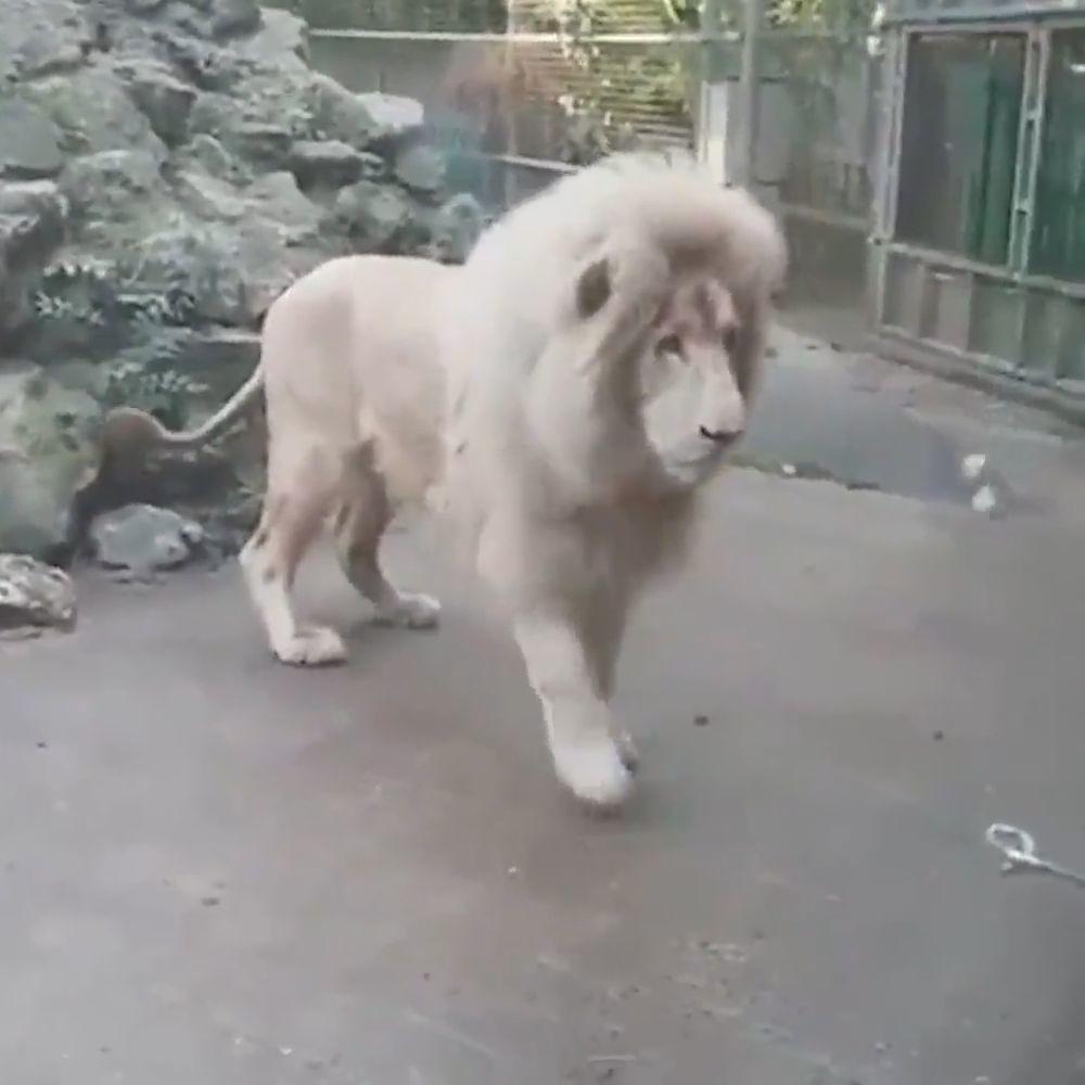 goseegoat.com funny cute big cat leopard gepard cheetah tiger video (20)