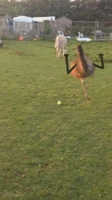 goseegoat.com funny cute emu video (2)