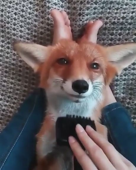 goseegoat.com funny cute fox video (14)