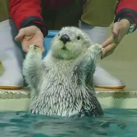 goseegoat.com funny cute otter video (14)