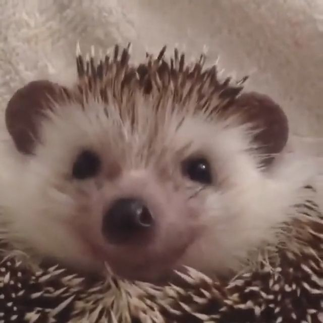 goseegoat.com funny cute hedgehog video (6)