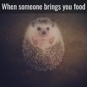 goseegoat.com funny cute hedgehog video (7)