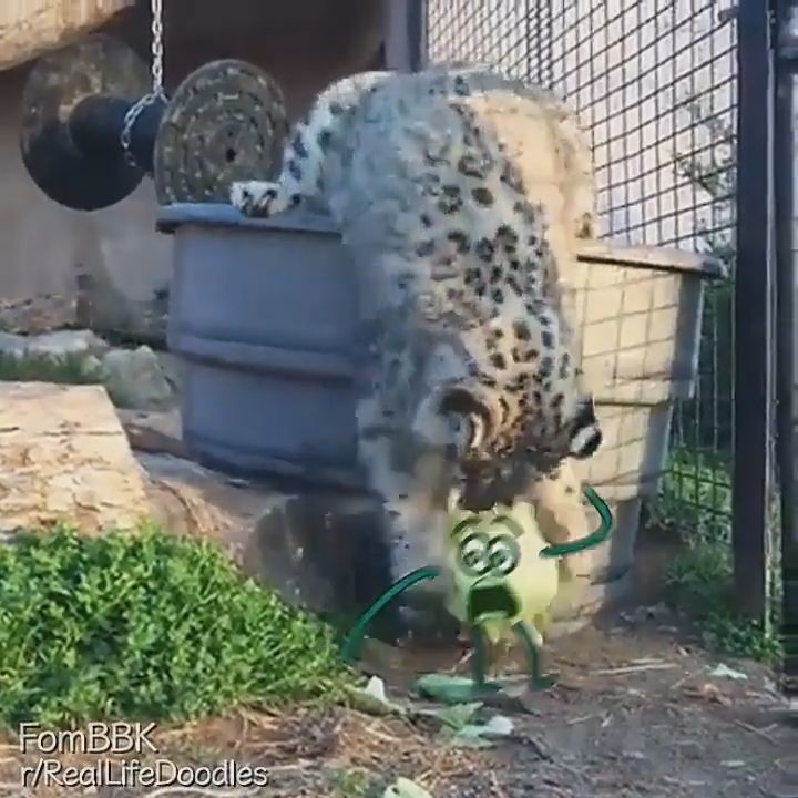 goseegoat funny big cat leopard mauls cabbage video (15)