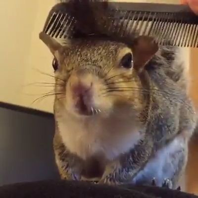 combing a squirrel
