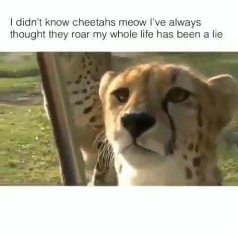 funny cheetah meow