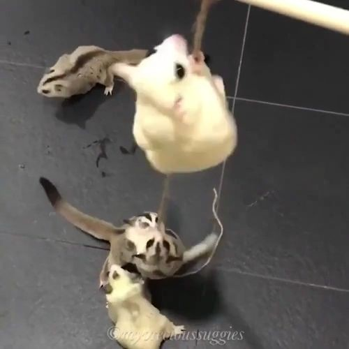 sugargliders on string