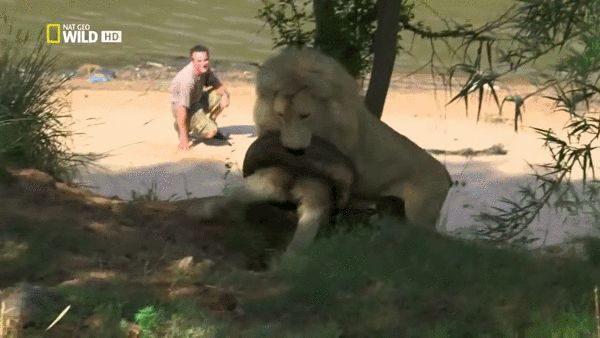 King of the jungle playing with a car tire lion