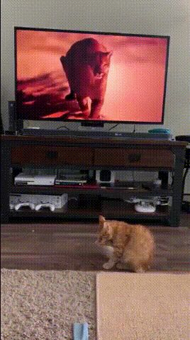 Scaredy cat sees a cheetah on the tv and runs away