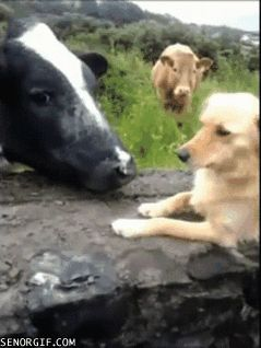 cow kisses dog