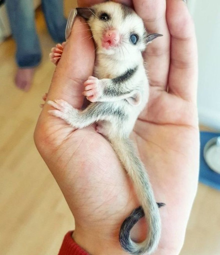 cute sugarglider