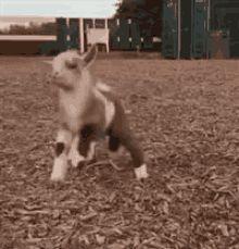 Dancing happy goat