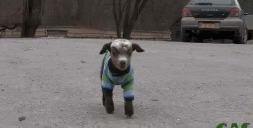 hello baby goat