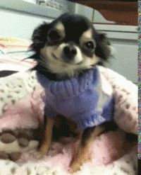 Cute tiny dog in sweater