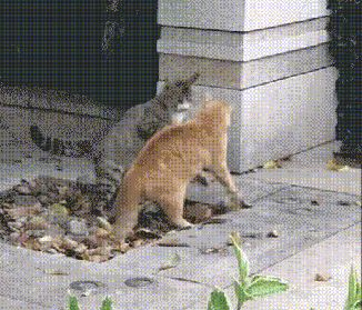 Ninja wrestling cat has some moves funny
