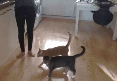 Cat tries to jump and flops animated gif