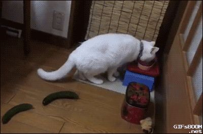 Cat gets scared by cucumbers