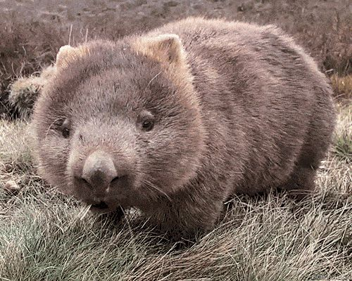 So this is a wombat  - Cute wombat eatng hay gif