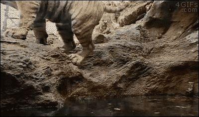Tiger takes a dip