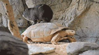Some small animal riding a turtle