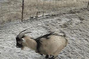 goat sweet slide gif