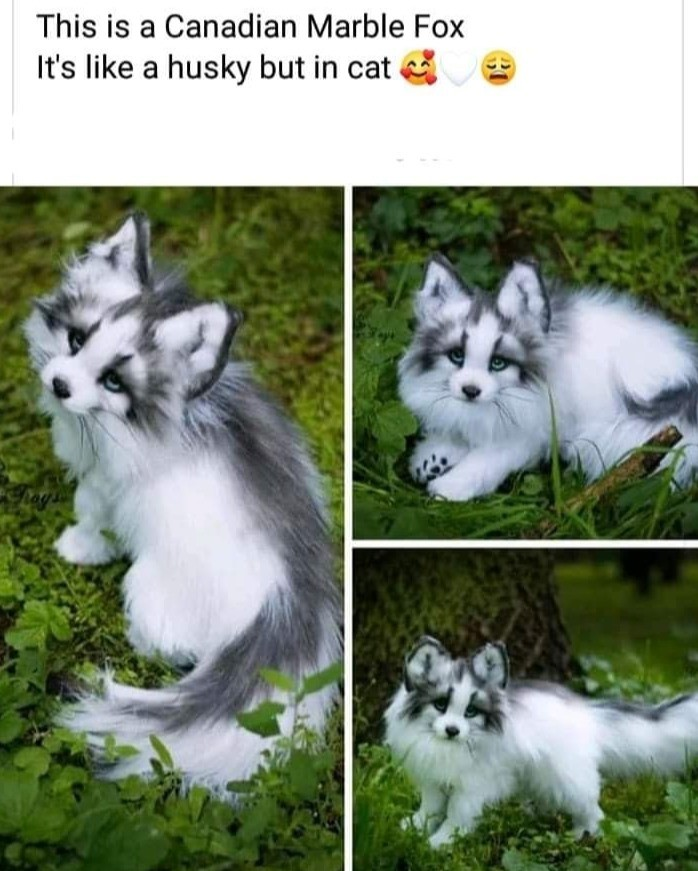 canadian marble fox husky cat